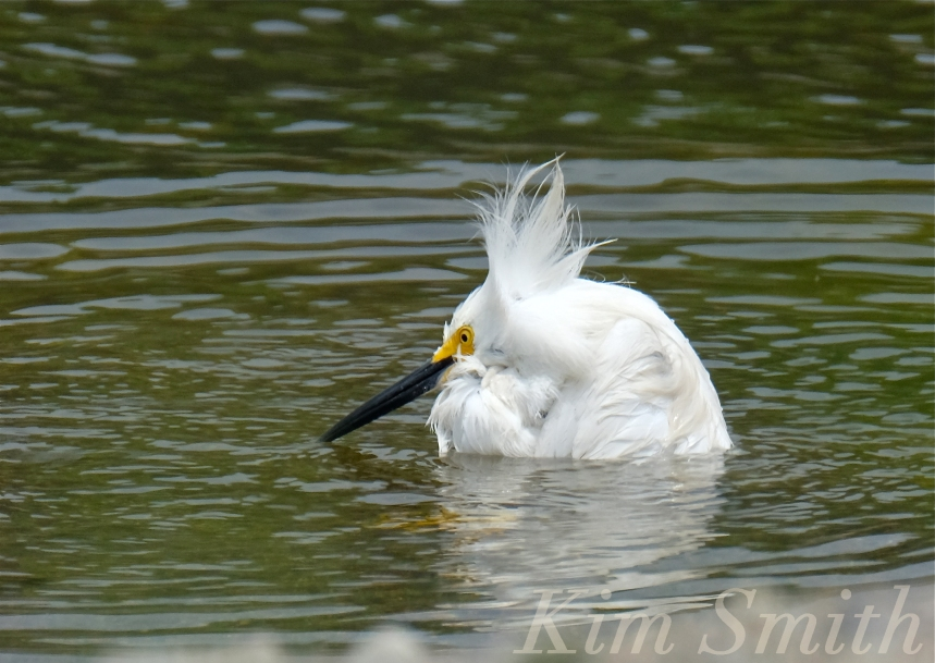 Snowy Egret Egretta thula -7  copyright Kim Smith