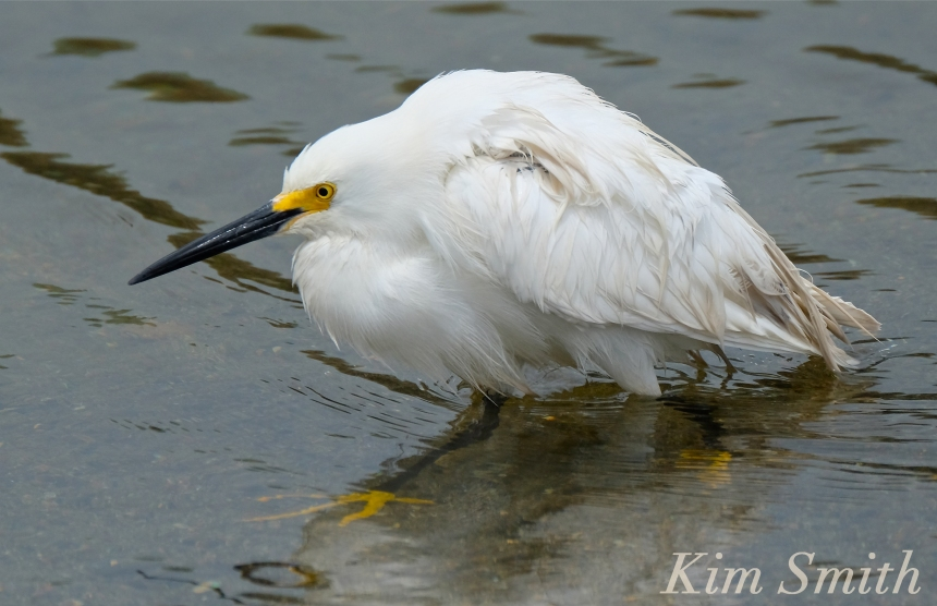 Snowy Egret Egretta thula -9 copyright Kim Smith