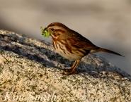 Song Sparrow eating caterpillars copyright Kim Smith