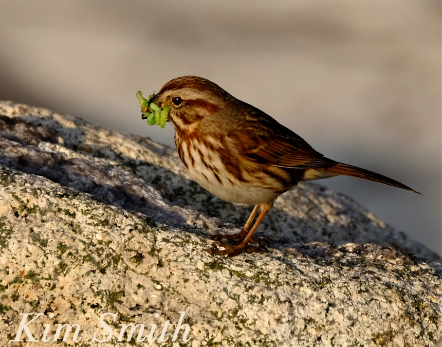 Song Sparrow eating caterpillars copyright Kim Smith