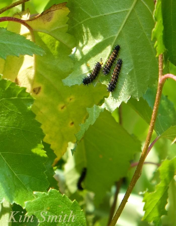 Cecropia Moth caterpillars copyright Kim Smith