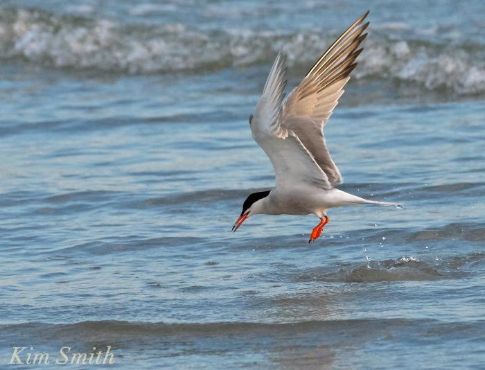 Common Tern feeding copyright Kim Smith