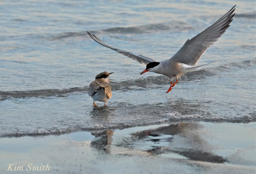 Common Tern Fledgling feeding -4 copyright Kim Smith