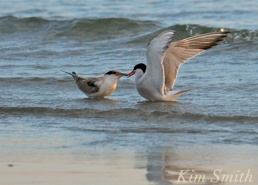 Common Tern Fledgling feeding -7 copyright Kim Smith