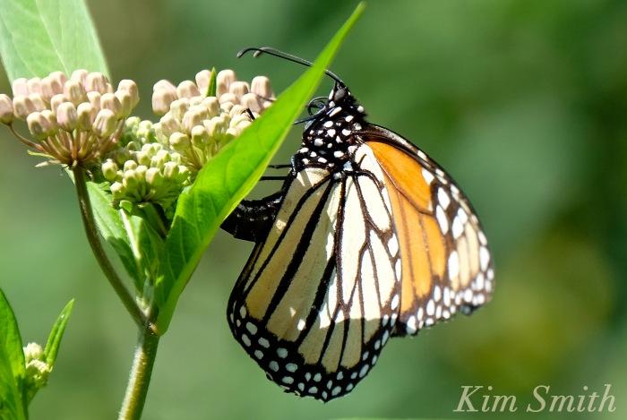 Female Monarch depositing eggs -1 copyright Kim Smith