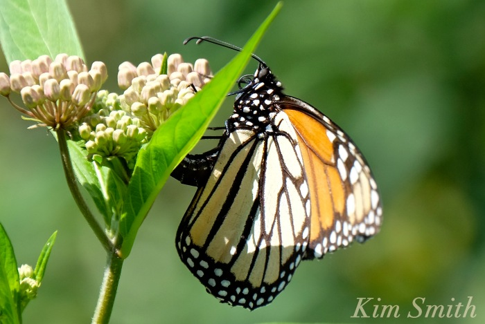 Female Monarch depositing eggs -1 copyright Kim Smith