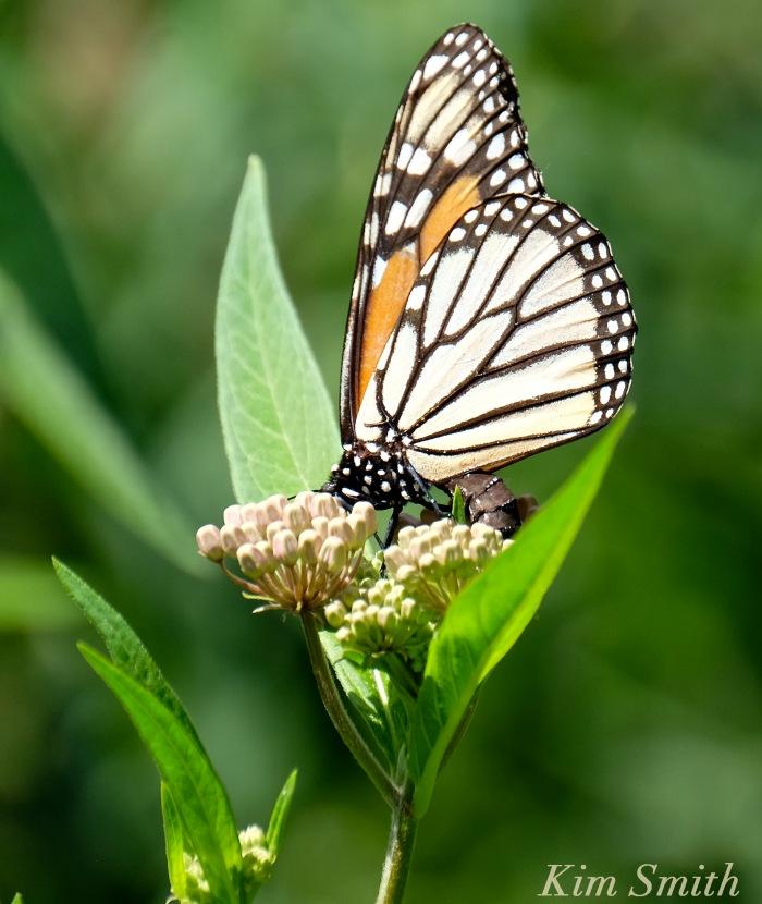 Female Monarch depositing eggs -2 copyright Kim Smith