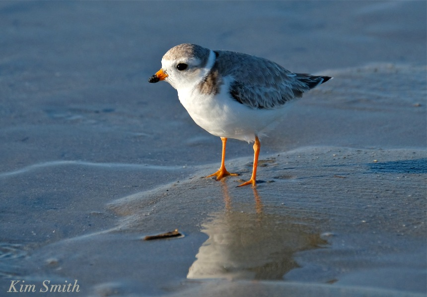 Female Piping Plover copyright Kim Smith