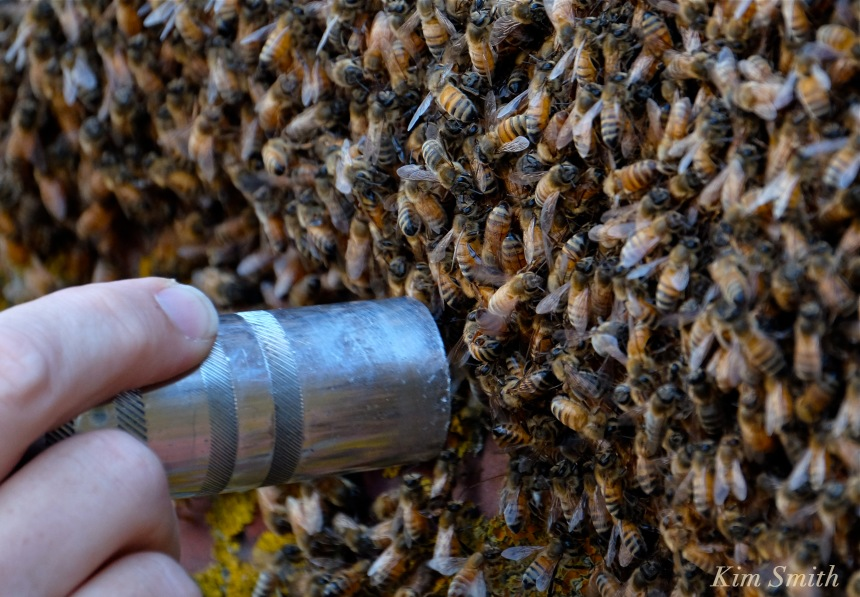 Honey Bee Swarm vacuuming bees copyright Kim Smith
