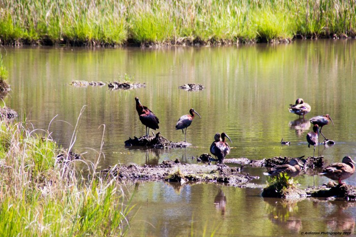 July 5, 2016 Glossy Ibis at Clark Pond