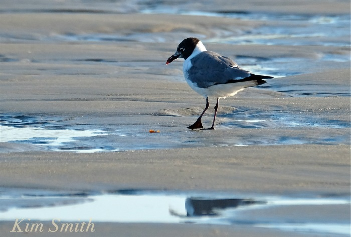 Laughing Gull Good Harbor Beach Gloucester Massachusetts copyright Kim Smith