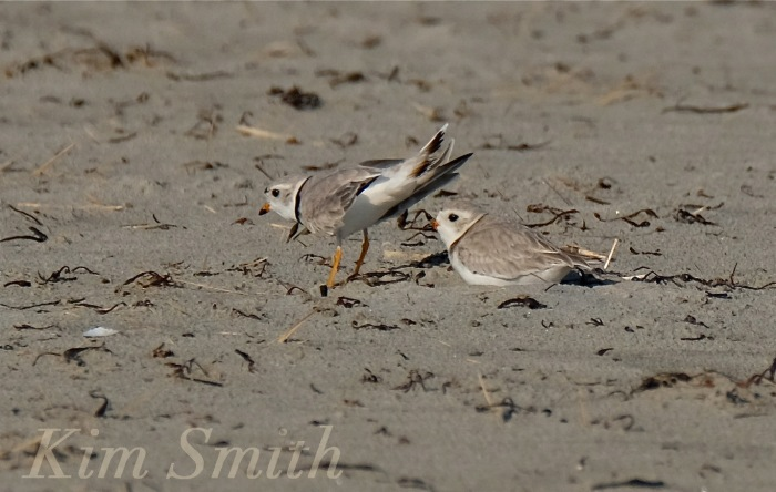 Male and Female Piping Plover copyright Kim Smith