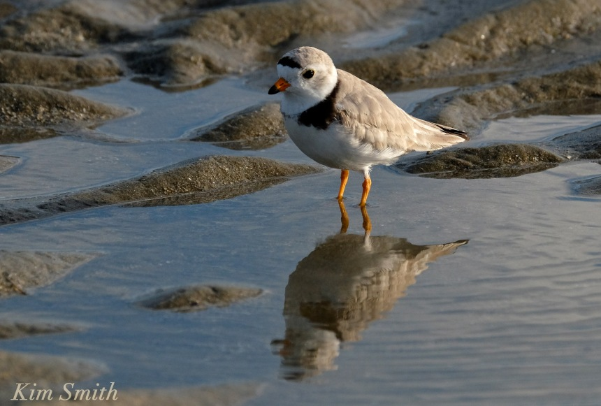 Male Piping Plover copyright Kim Smith