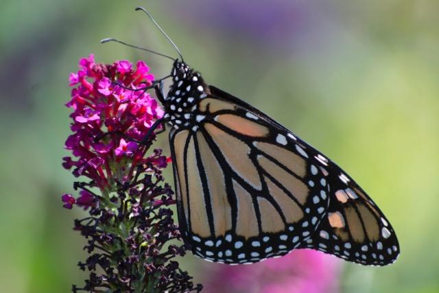 monarch ipswich