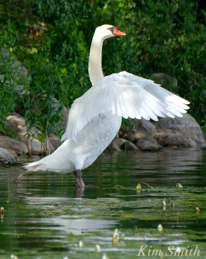 Mr. Swan outstretched wings Niles Pond coyright Kim Smith