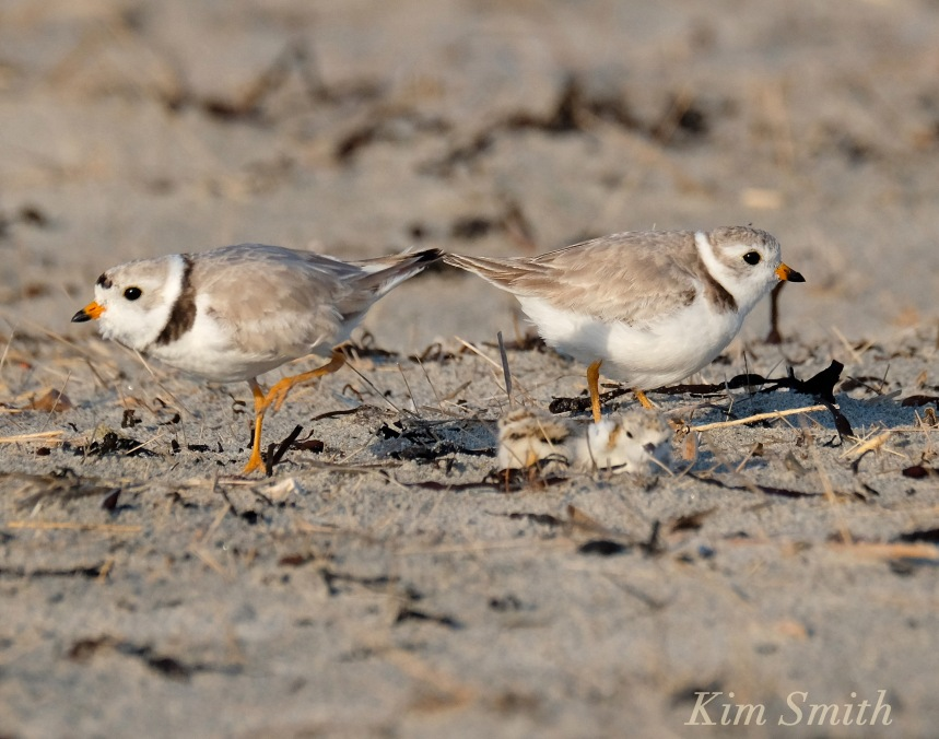 Piping Plover chicks Mom Dad copyright Kim Smith 6-12-16