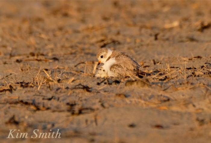 Piping Plover chicks nestlings -2 copyright Kim Smith 6-12-16