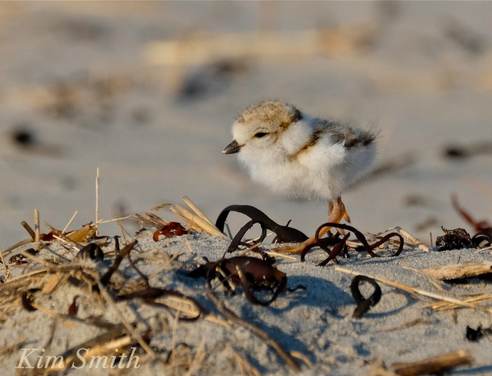 Piping Plover chicks nestlings -2 copyright Kim Smith 6-13-16