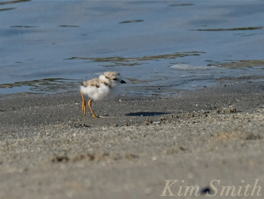 Piping Plover chicks nestlings -2 copyright Kim Smith 6-14-16