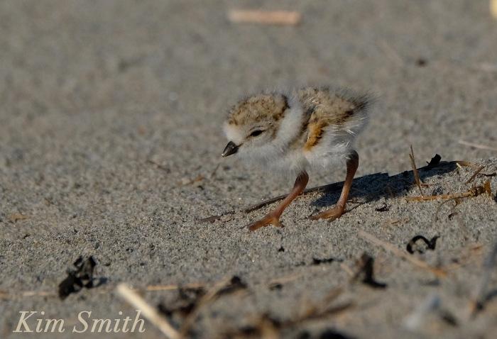 Piping Plover chicks nestlings -3 copyright Kim Smith 6-12-16