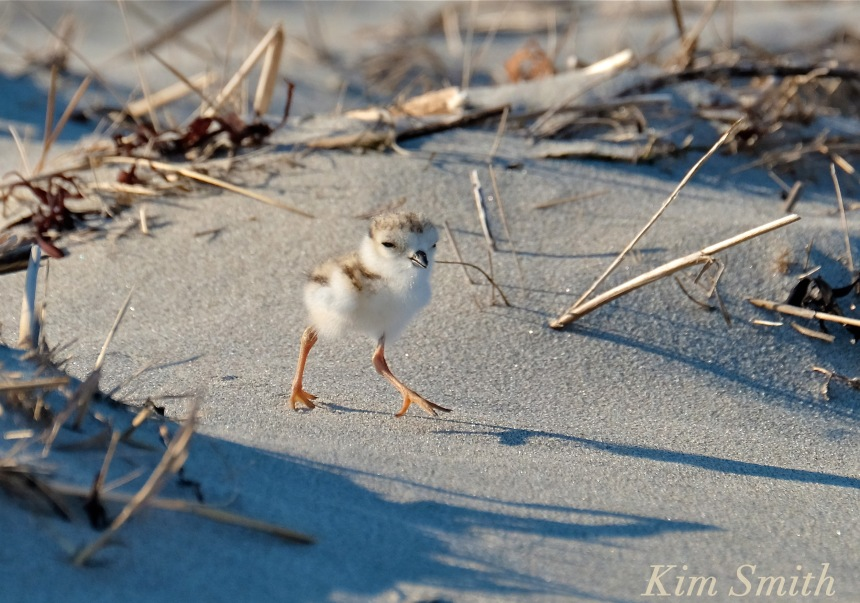Piping Plover chicks nestlings -4 copyright Kim Smith 6-13-16