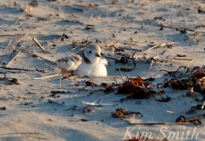 Piping Plover chicks nestlings beach copyright Kim Smith 6-14-16