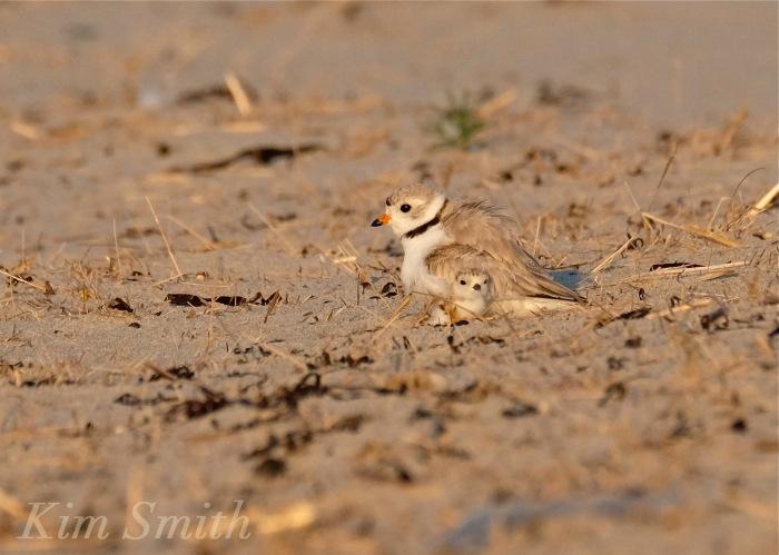 Piping Plover chicks nestlings copyright Kim Smith 6-13-16