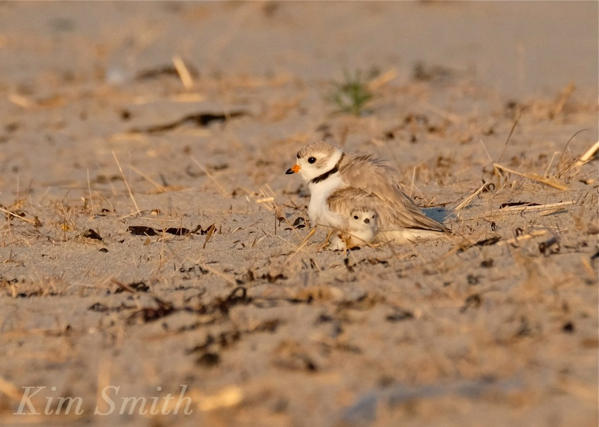 Piping Plover chicks nestlings copyright Kim Smith 6-13-16