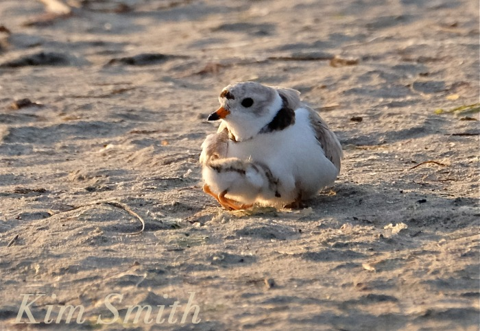 Piping Plover male and chick copyright Kim Smith