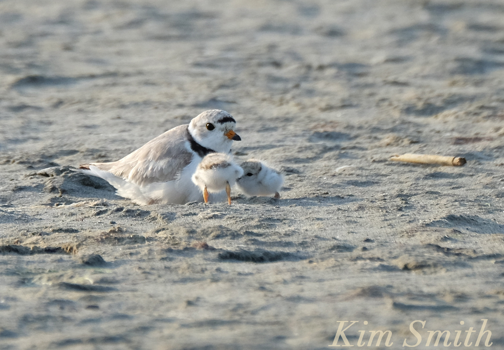 Baby piping plover - photo#26