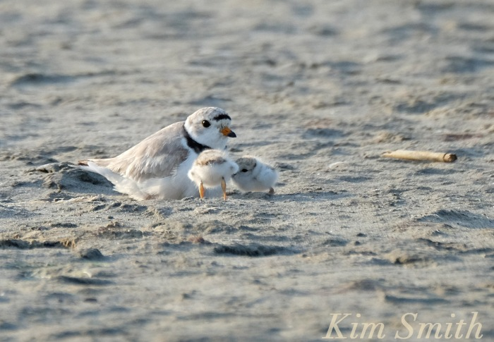 Piping Plover male and chicks copyright Kim Smith