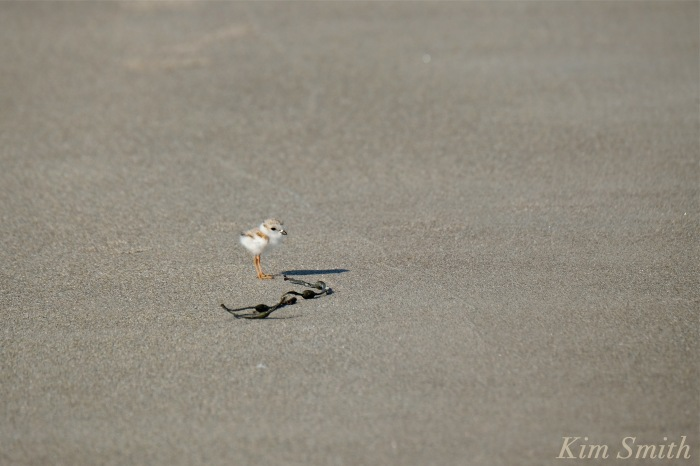 Piping Plover tiny chick copyright Kim Smith