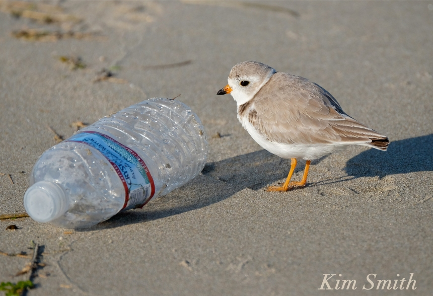 Piping Plover with garbage plastic bottle pollution copyright Kim Smith