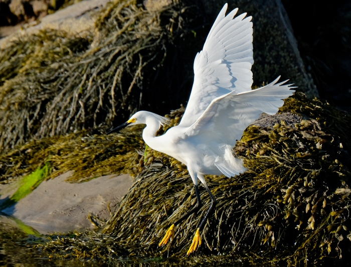 Snowy Egret copyright Kim Smith