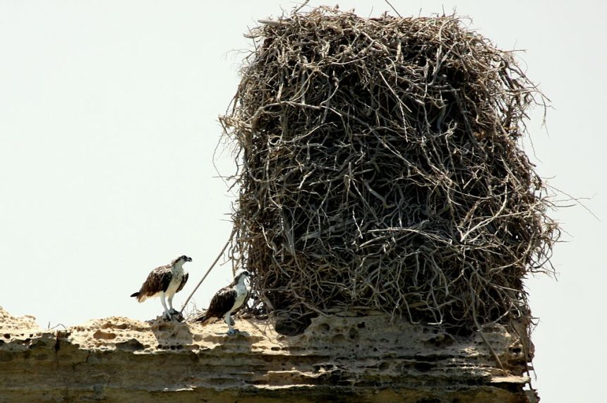1024px-Ospreys_with_a_huge_nest
