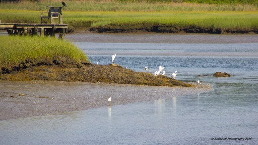 August 2, 2016 lots of Egrets