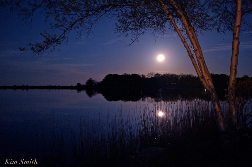 Birch tree Niles Pond moonlight copyright Kim Smith