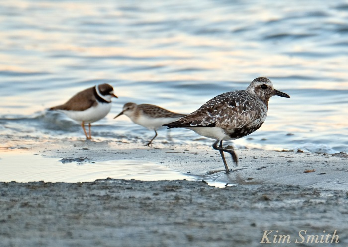Black bellied Plover Semipalmated Plover Massachusetts copyright Kim Smith