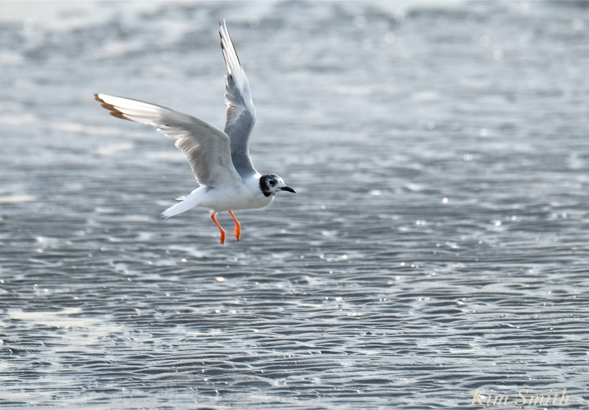Bonaparte's Gull Larus philadelphia Cape Ann -2 copyright Kim Smith