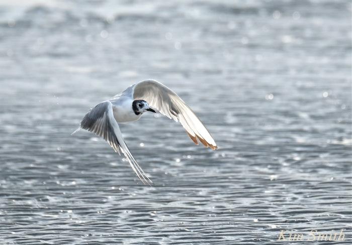 Bonaparte's Gull Larus philadelphia Cape Ann copyright Kim Smith