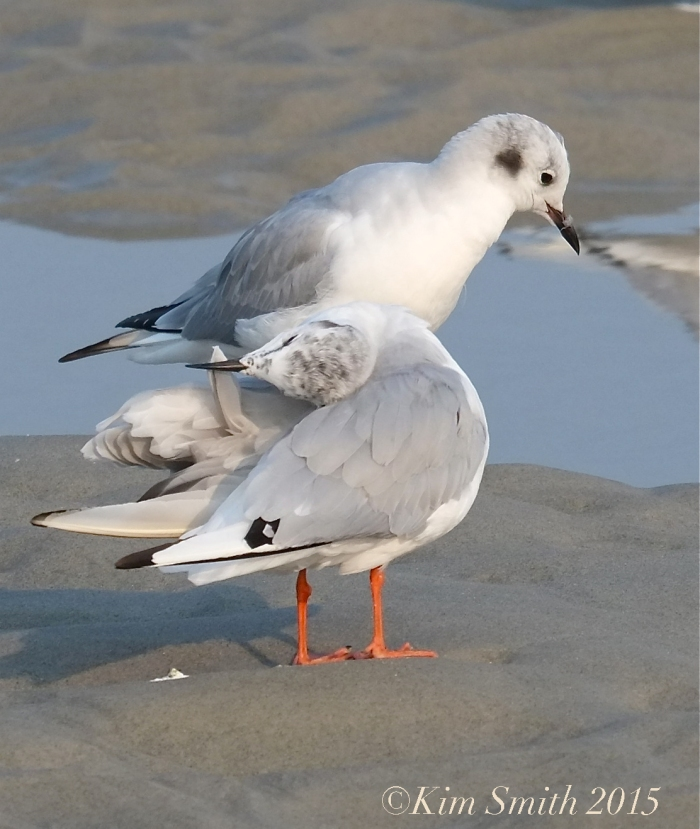 bonapartes-gulls-gloucester-2-copyright kim-smith-2015
