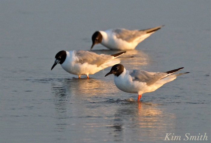 Bonaparte's Gulls Gloucester Massachusetts -2 copyright Kim Smith