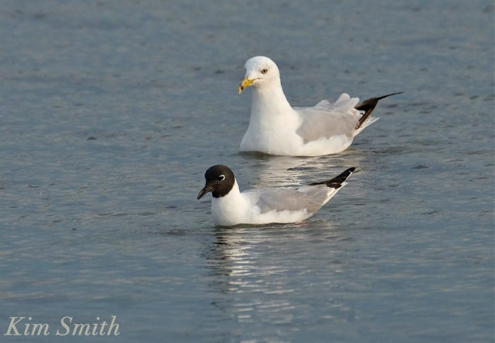 Bonaparte's Gulls Gloucester Massachusetts -4 copyright Kim Smith