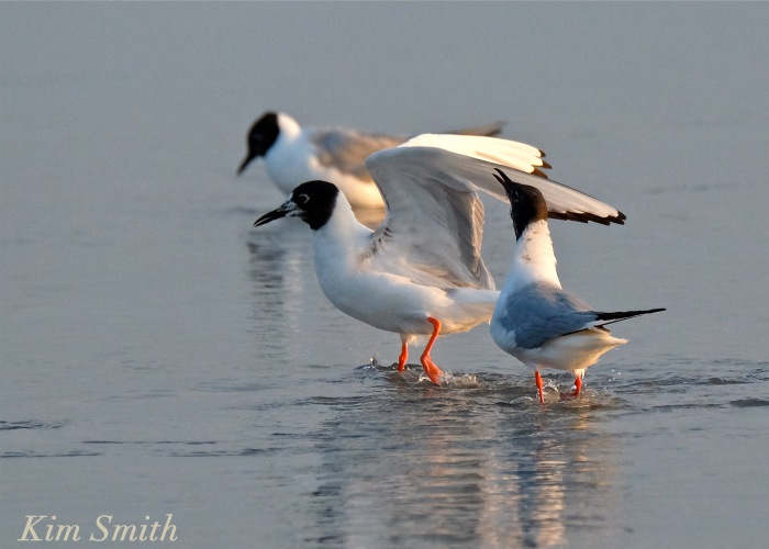 Bonaparte's Gulls Gloucester massachusetts copyright Kim Smith