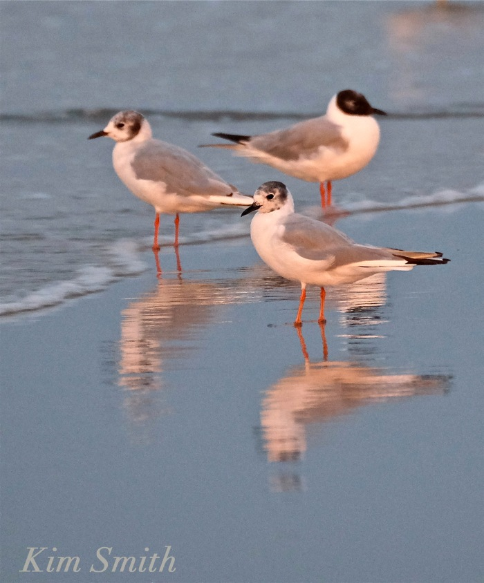 Bonaparte's Gulls twilight copyright Kim Smith
