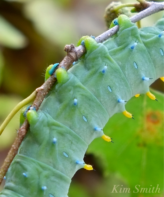 Cecropia Moth caterpillar close up feet copyright Kim Smith