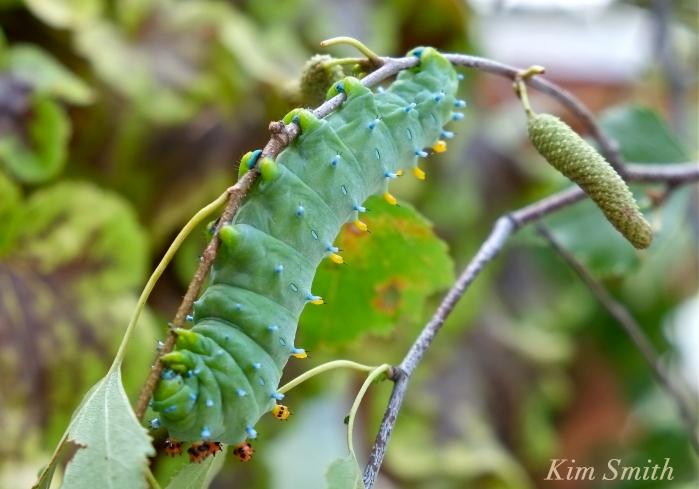 Cecropia Moth caterpillar copyright Kim Smith