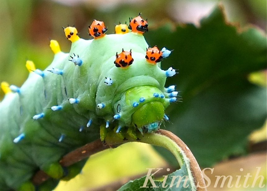 Cecropia Moth caterpillar copyright Kim Smith
