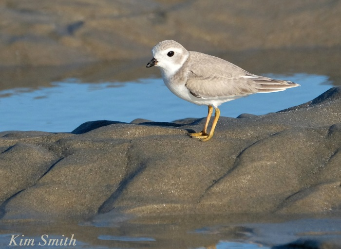 Female Piping Plover Good Harbor Beach Gloucester Massachusetts -2 copyright Kim Smith