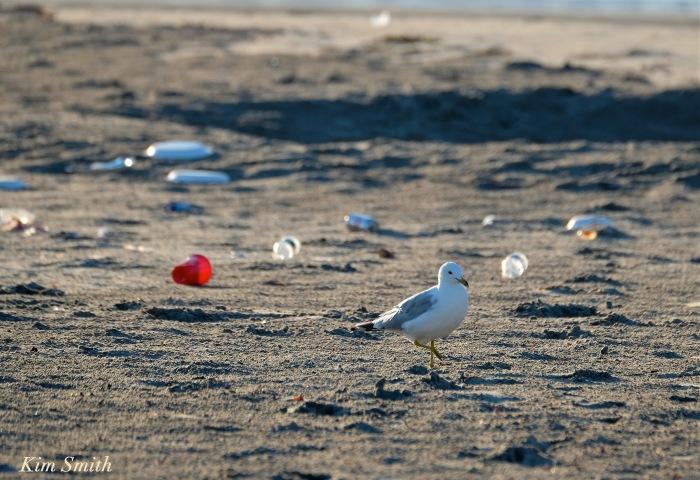 Gull and Beach Garbage copyright Kim Smith
